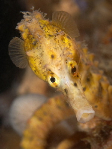 Big-bellied Seahorse. Chowder Bay, Sydney Harbour by Doug Anderson 